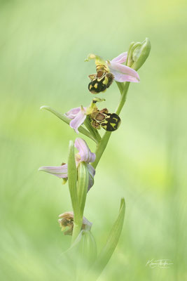 Bienen-Ragwurz (Ophrys apifera); 8. Juni 2020