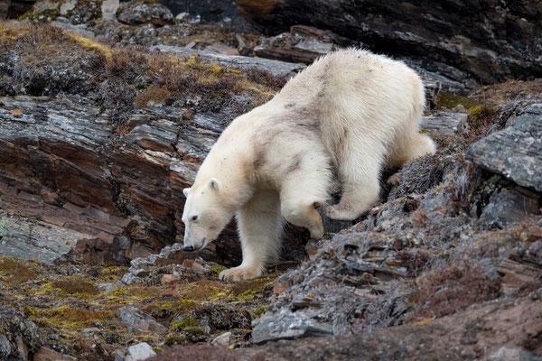 Abstieg! Vielleicht sind Robben doch die bessere Idee...