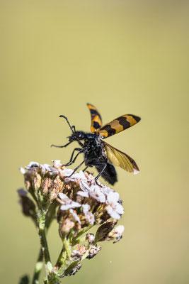 Gemeine Bienenkäfer (Trichodes apiarius); 15. August 2017, Leiggern VS