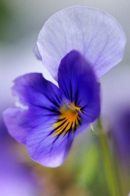 Stiefmütterchens (Viola tricolor)