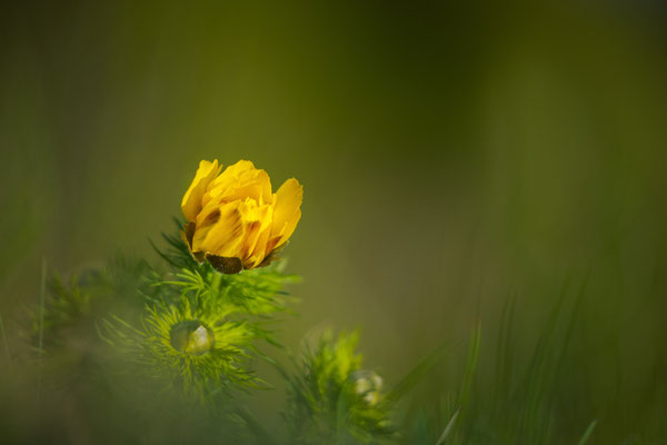 Frühlings-Adonisröschen; VS; 19.4.18