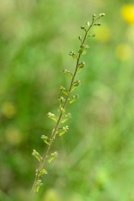 Grosses Zweiblatt (Listera ovata)