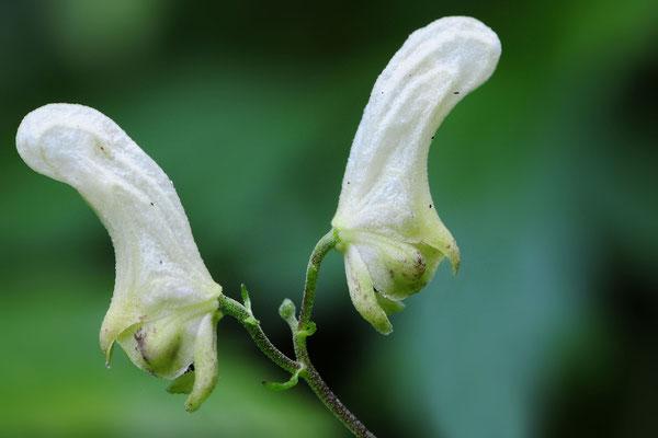 Wolfs-Eisenhut (Aconitum lycoctonum), auch Gelber Eisenhut; Montfaucon (Combe des Etroits); 15-8-2012