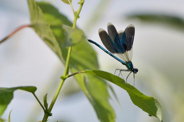 Gebänderte Prachtlibelle (Calopteryx splendens); Donaudelta; Juni 2014