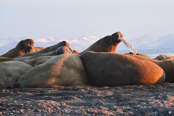 Endlich wieder ruhigere Gewässer; wir nähern uns behutsam einer Walrosskolonie auf der kleinen Insel Moffen...