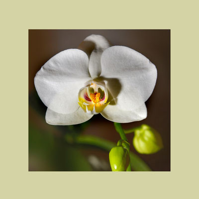 Weisse Phalaenopsis-Hybride