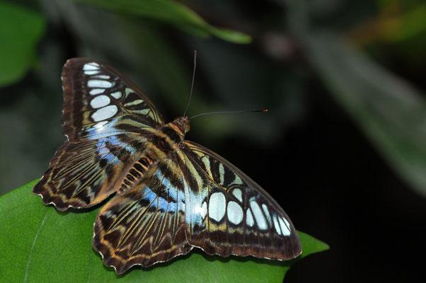 Pertenos sylvia lilacinus