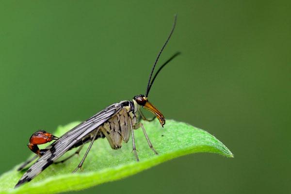 Gemeine Skorpionsfliege (Panorpa communis); Grafenort, 25. Mai 2015