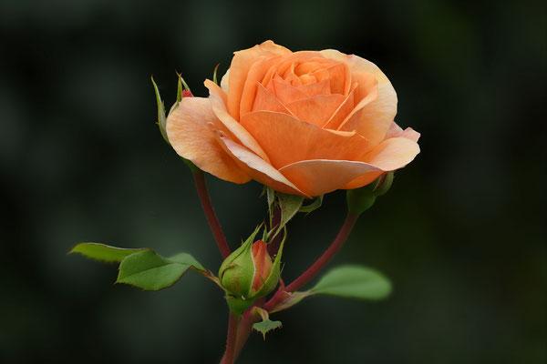 Der wohl letzte Blütenschub dieser wunderschönen Rose; Jardin Müsette; 11. Oktober 2018