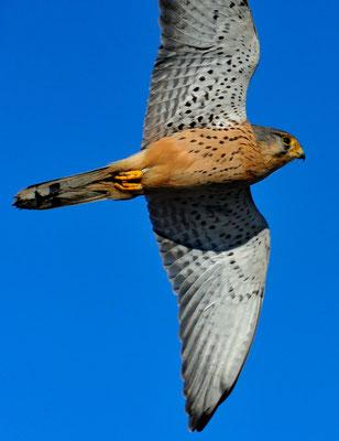 Turmfalke (Falco tinnunculus); 26-12-11, Müntschemier BE