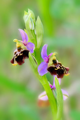 Humelragwurz (Ophrys holosericea); 9. Mai 2015