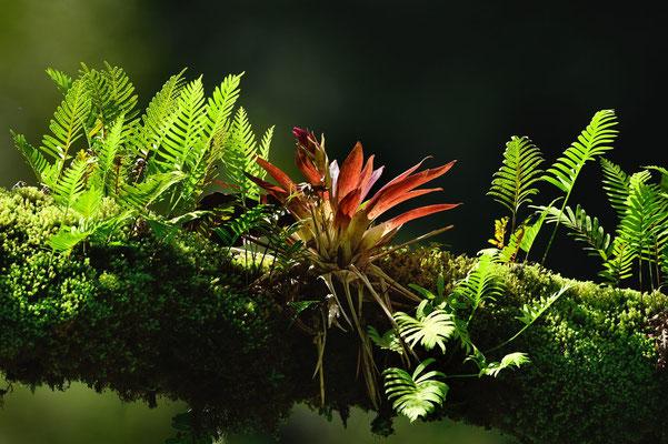 Regenwald; Epiphyten (Aufsitzpflanzen) wie Farne und Bromelien