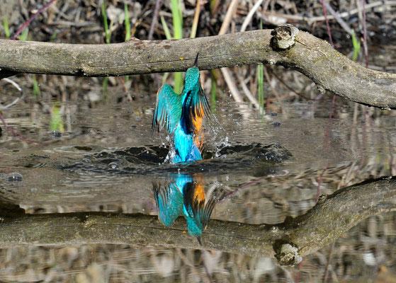 Eisvogel aus dem Wasser