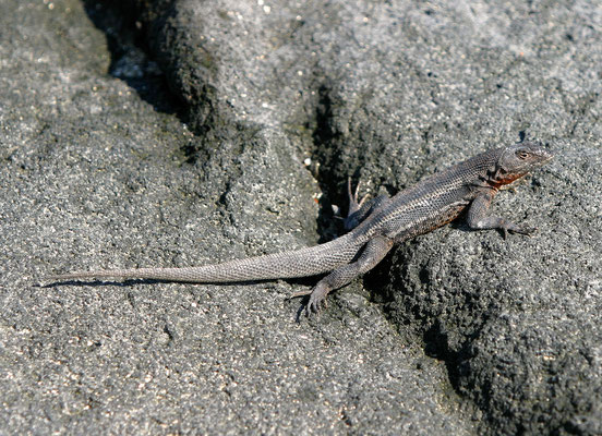 Galápagos Lavaechse (Microlophus albemarlensis)