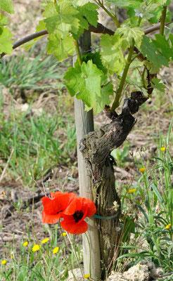 Mohn im Weinberg Trinita der Villa Tiboldi, S. Stefano bei Canale