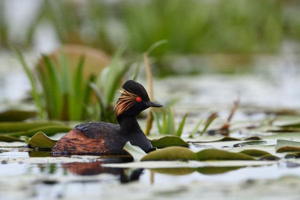 Schwarzhalstaucher (Podiceps nigricollis); Donaudelta; Juni 2014