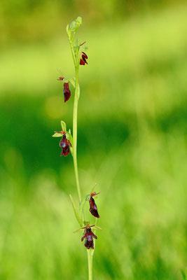 Sie fliegen noch...; Insectifera; 26. Mai 2016