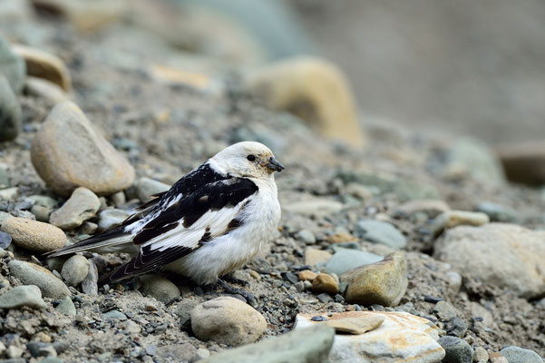 Schneeammer (Plectrophenax nivalis), 2.7.15; Longyearbyen