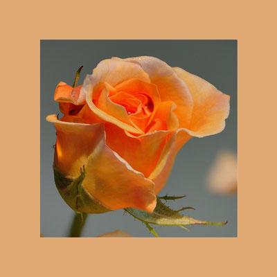 """Zuchtrose (Rosa xhybridus) """"Myrnas Dream"""""""