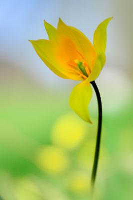 Wildtulpe (Tulipa Sylvetris); Muttenz; 12. April 2015