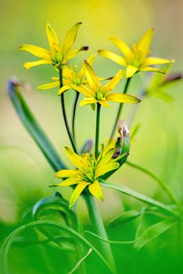 Wald-Gelbstern (Gagea lutea), auch Gewöhnlicher Gelbstern oder Wald-Goldstern; 4.4.2018