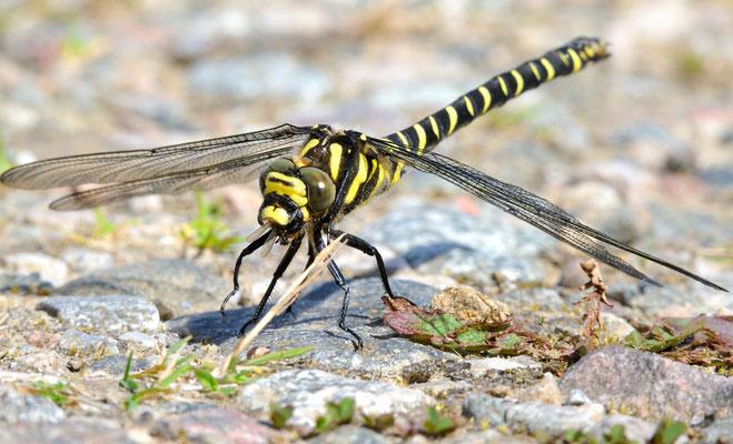 Nominatform der kleinen Zangenlibelle (Onychogomphus forcipatus forcipatus ); Loch Assynt, Hghlands Schottland, Juli 2012