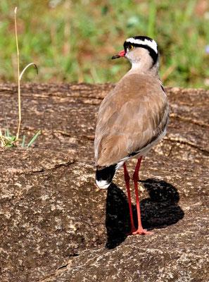 Kronenkiebitz (Vanellus coronatus)