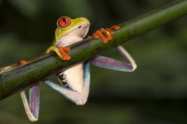 Rotäugiger Baum-Frosch, Agalychnis-callidryas, Costa Rica 5/2018