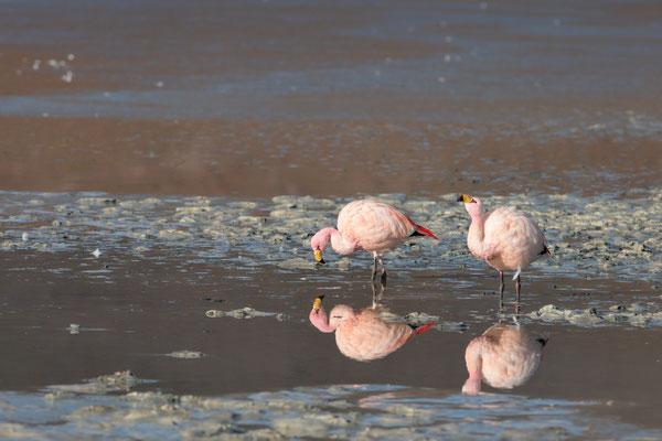 James-Flamingos (Phoenicoparrus jamesi) bei der Laguna Hedionda