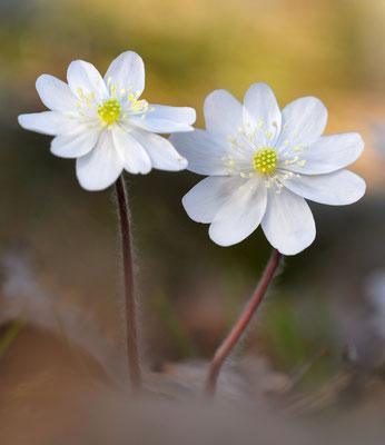 Weisses Leberblümchen; VS; 19.4.18
