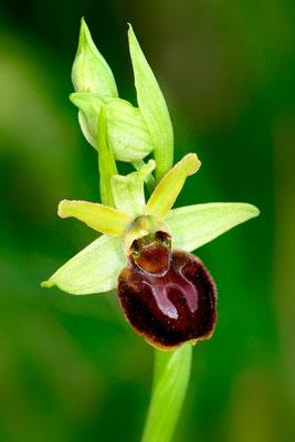 (Gewöhnliche) Spinnen-Ragwurz (Ophrys sphegodes); 11.4.15