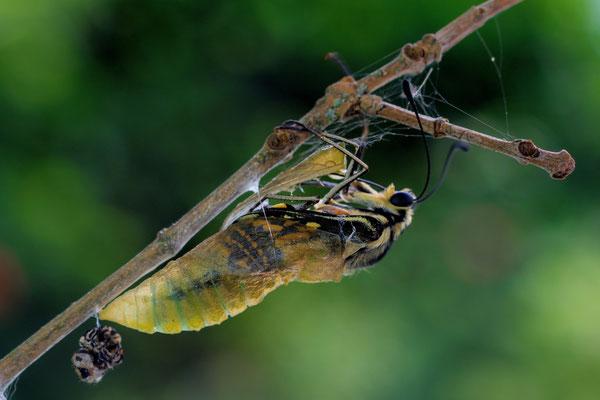 Schmetterlingsgeburt setzt sich fort