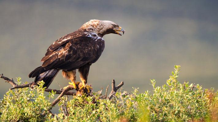 Spanischer Kaiseradler (Aquila adalberti); Vorkommen: SW Iberische Halbinsel; ca. 500 Expl.