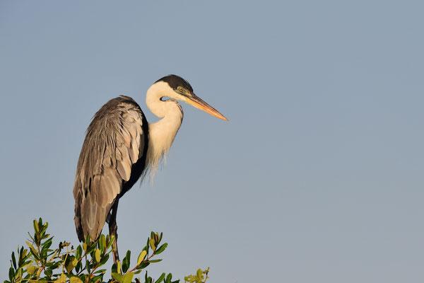 Cocoireiher (Ardea cocoi); Pantanal 2016