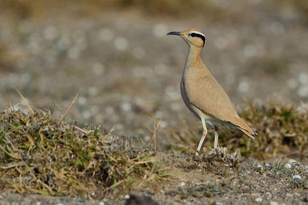 Rennvogel (Cursorius cursor); Familie Brachschwalbenartige, Unterfamilie Rennvögel; Wüste von Lanzarote; 14. Febuar 2016