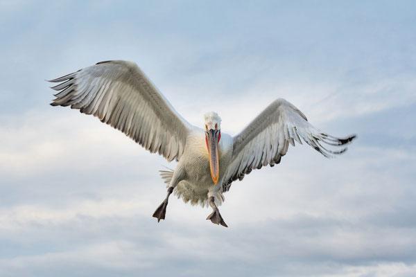 'Krauskopfpelikan'; Vorauswahl der Jury aus 6961 Bildern; Fotowettbewerb Vogelwarte 2018