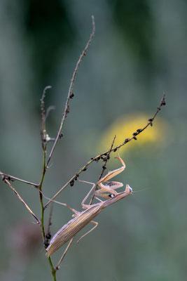 Europäische Gottesanbeterin (Mantis religiosa); 11. August 2018, Nordwestschweiz
