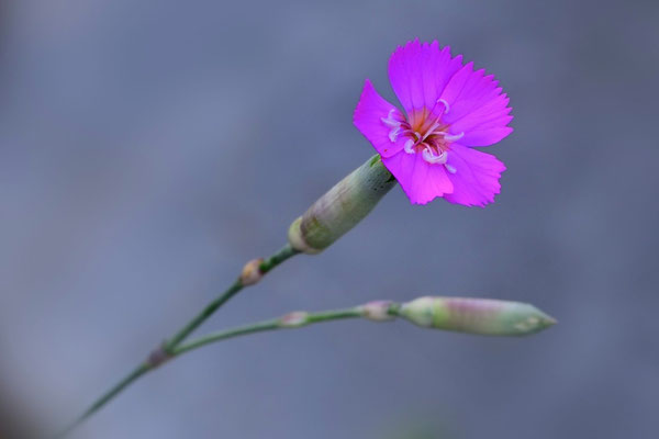 Pfauen-Nelke (Dianthus pavonius)