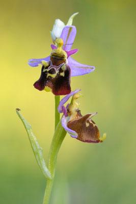 Hummelragwurz (Ophrys holoserica); 2. Juni 2017