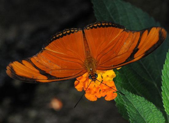 Julia-Falter (Dryas iulia)