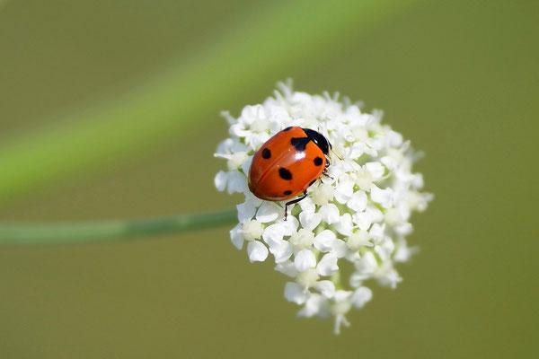 Marienkäfer (Coccinellidae)