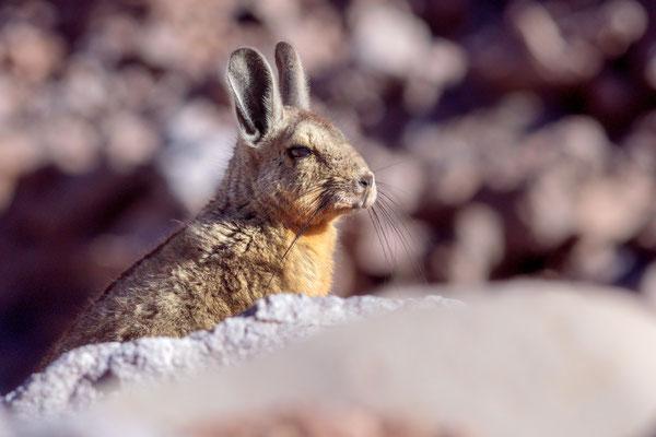 Die Cuvier-Hasenmaus oder Eigentliches Bergviscacha (Lagidium viscacia)