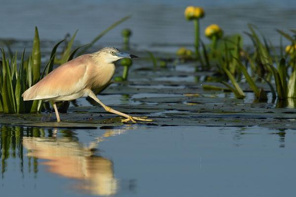 Rallenreiher (Ardeola ralloides); Donaudelta; Juni 2014