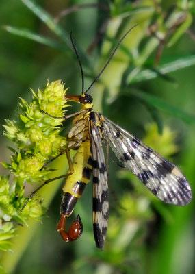 Skorpionsfliege (Panorpa communis) Männchen