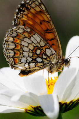 97 Wachtelweizen-Scheckenfalter (Melitaea athalia); Motta Naluns GR; 31-7-2012
