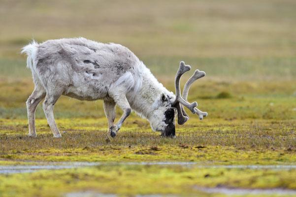 Spitzbergen-Ren (Rangifer tarandus platyrhynchus); Longyearbyen; Juli 2015