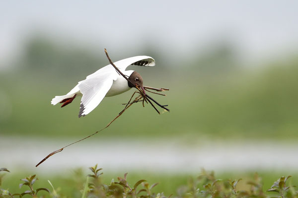 Lachmöwe (Chroicocephalus ridibundus); Donaudelta; Juni 2014