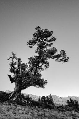 Arve, auch Zirbelkiefer (Pinus cembra),  Engstliegenalp; 26. September 2018
