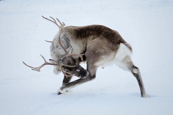 Rentier (Rangifer tarandus); Februar 2013 Tromsö Norwegen