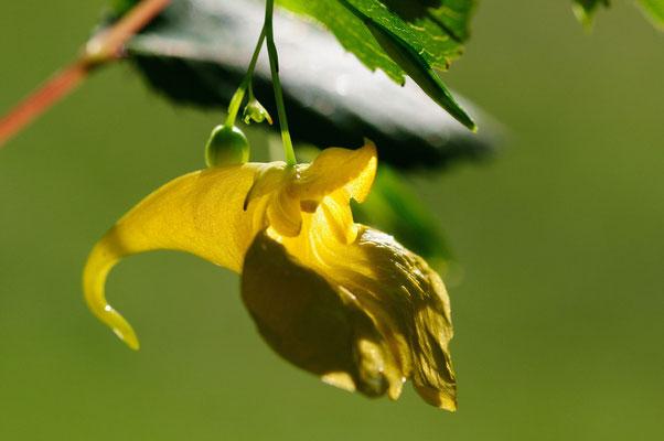 Großes Springkraut (Impatiens noli-tangere); Montfaucon (Combe des Etroits); 15-8-2012
